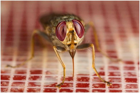 Fig. 1. A tsetse fly (Glossina morsitans morsitans) taking a bloodmeal using the artificial feeding membrane system (Image courtesy of Dr. Ray Wilson)