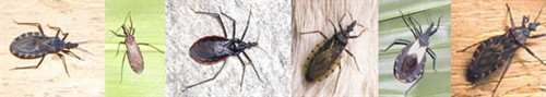 Triatomine bugs - the vectors of American trypanosomiasis - Chagas disease
