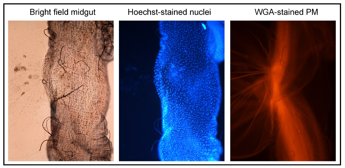 (L-R) A dissected tsetse midgut with the peritrophic matrix (PM) spilling out as seen under bright field microscopy (left), Hoechst stained (blue) midgut nuclei (middle), and the PM stained with wheat germ agglutinin (WGA) (right).
