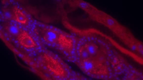 Fluorescent in situ hybridization of Wolbachia infections in Anopheles moucheti ovaries (Wolbachia – red, mosquito nuclei stained by DAPI - blue). Image taken by Shivanand Hegde.