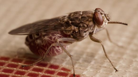 A blood fed tsetse fly -  Photo: Daniel Hargrove